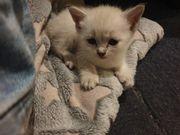 OKH Mix Kitten