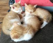 Katzenbabys zu verkaufen Roter Kater