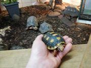Köhlerschildkröten