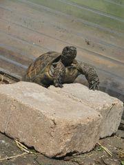 Maurischer Landschildkröten-Bock 2006