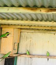 Schildsittiche Exotische Vögel
