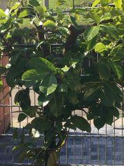 Kirschlorbeer 10 Pflanzen