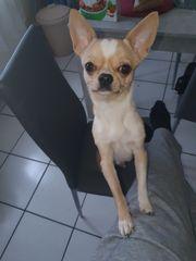 Deck rüde Chihuahua reinrassig langebeine