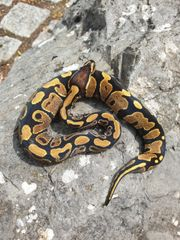1 0 Yellowbelly ph pied