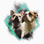 Wurfankünigung Old english bulldog Französische