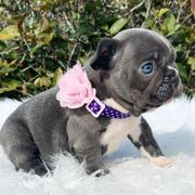 FrenchBulldog Welpe
