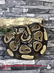 Königspython Python regius Ballpython Schlange