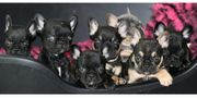 7 traumhaft schöne französische Bulldoggen