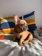 Französische Bulldogge Welpen Blue-Fawn