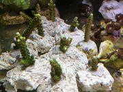 Acropora Enzmann Koralle Meerwasser