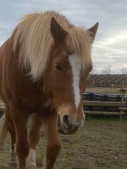 Pony Wallach Lewitzer