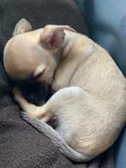 Mini-Chihuahua in gute Hände abzugeben