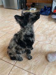 Mudi perfekter Agility Hund
