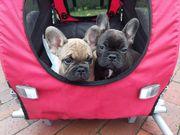 Französische Bulldoggen Welpen aus liebevollem