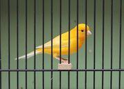 Kanarienvogel - Hahn