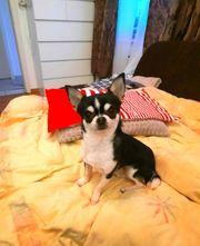 Chihuahua Deckrüde sucht nach nette
