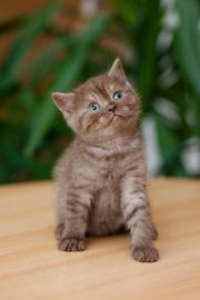 Süsse BKH Scottish Straight Kätzchen