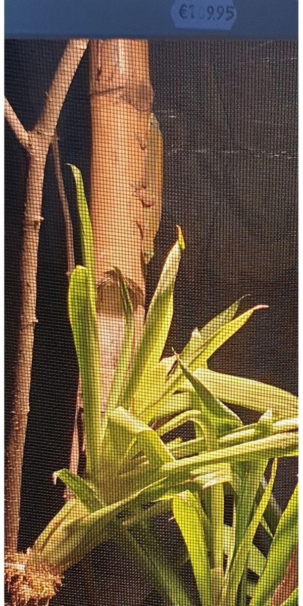 Goldstaubtaggecko 1 1 abzugeben