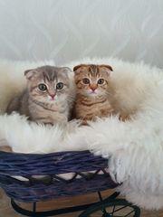 BKH Scotish Fold-Kitten
