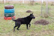 VLAD - toller schwarzer Schäferhund Er
