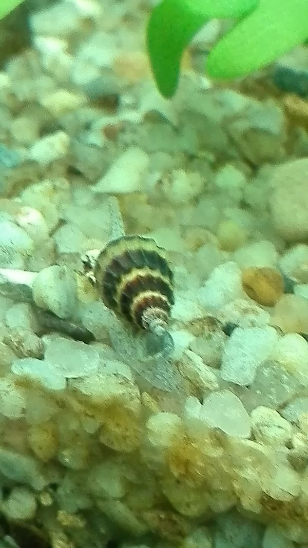 Raubschnecken fürs Aquarium