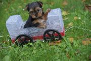 Yorkshire Terrier Welpe XXS black