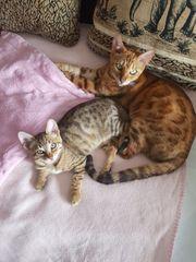 Bengal Bkh mix Kätzchen