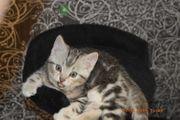 Mix Bengal BKH marbled Kätzchen