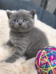 BKH Kitten Blue Lilac Creme