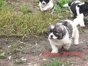 Herdenschutzhund Pyrenäenberghund Welpen