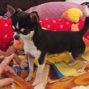 Reinrassiger Chihuahua Deckrude