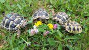 Nz 2017 2020 Griechische Landschildkröten
