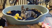 Französische Bulldogge blue merle 6