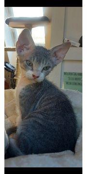 Sphynx Kater Kitten Katzen Baby