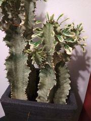 Pflanze sukkulent Euphorbia ingens marmorata