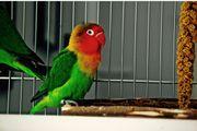 2 Pfirsichköpfchen - Liebesvögel die unzertrennlichen