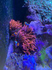 rote Kupferanemone Quadricolor Ableger Meerwasser