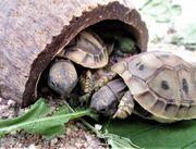Griechische Landschildkröte Schildkröte geschlüpft 2020