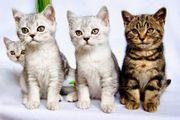 Bildschöne BKH Kitten in Whiskas-look