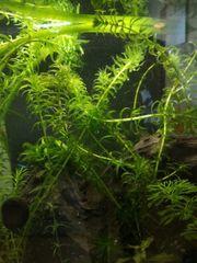 aquarium planzen