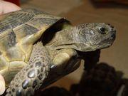 Maurische Landschildkröten - Testudo graeca ibera