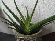 ECHTE Aloe Vera Barbadensis Miller