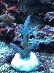 Meerwasser Korallen SPS