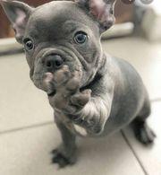 französische bulldogge welpe gesucht