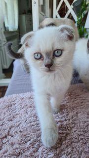 BKH Blue Point Kitten Scottish