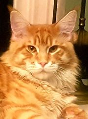 DECKKATER Maine Coon Red Tabby
