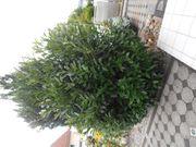 Eine Kirschlorbeerpflanze Reserviert