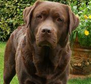 Brauner Labrador Deckrüden aus Dänemark