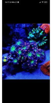 clavularia tricolor Meerwasser Ableger Krustenanemonen