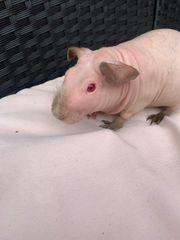 Skinny Pig Sinnypig Himalaya Meerschweinchen